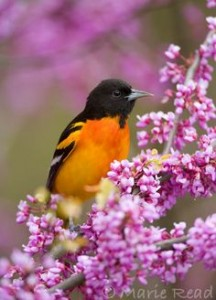 Baltimore Oriole (Icterus galbula) male in breeding plumage, perched in flowering Eastern Redbud, NY, USA